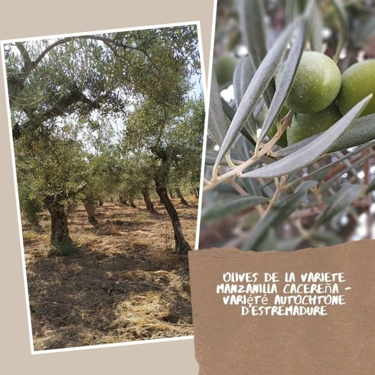 Spana Delice - Olives et oliveraie Manzanilla CacereSpana Delice - Olives et oliveraie Manzanilla Cacereña